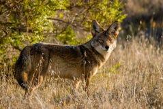 Coyote in de wildernis royalty-vrije stock afbeelding