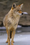 Coyote in de Winter Stock Afbeeldingen