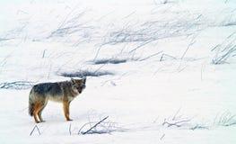 Coyote in de Winter Stock Foto's
