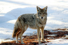 Coyote in de winter in Grand Canyon Stock Afbeelding