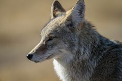 Coyote de Yellowstone Photo libre de droits