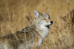 Coyote de Yellowstone Photographie stock
