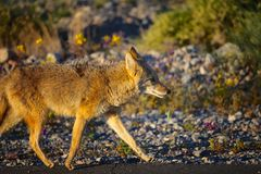 Coyote Death Valley Images stock