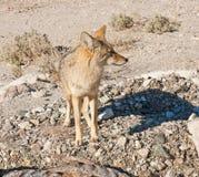 Coyote in Death Valley fotografia stock libera da diritti