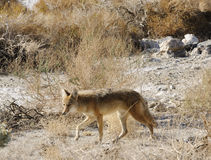 Coyote in Death Valley immagine stock