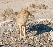Coyote in Death Valley. Lone wild coyote in Death Valley, California Royalty Free Stock Photography