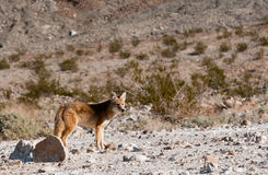 Coyote in Death Valley Royalty Free Stock Images