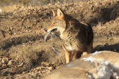 Coyote With Deer Fur in Mouth. Coyote Guarding Deer Carcass with Fur in Mouth Royalty Free Stock Photography