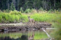 Coyote del Adirondacks del tiempo de verano imagen de archivo