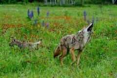 Coyote del grito en un campo de wildflowers Imágenes de archivo libres de regalías