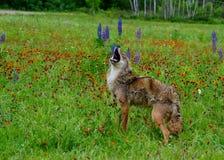 Coyote del grito en un campo de wildflowers Imagen de archivo