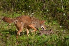 Coyote dell'adulto e del cucciolo (latrans del canis) sul vagare in cerca di preda Fotografia Stock