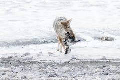 Coyote dell'Utah Fotografie Stock