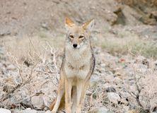 Coyote in the desert. Coyote in Death Valley California Stock Image