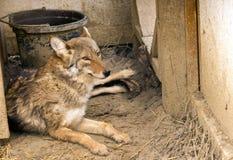 Coyote di riposo Fotografia Stock