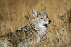 Coyote di Yellowstone Fotografia Stock