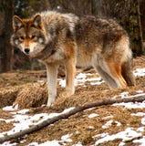 Coyote die de Camera bekijkt stock foto's