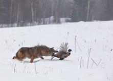 Coyote die fazant achtervolgen Stock Afbeeldingen