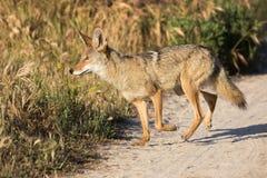 Coyote die een ochtendwandeling nemen stock afbeeldingen
