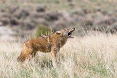Coyote die voor mededeling huilen stock foto's