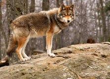 Coyote die zich op een Rots bevindt royalty-vrije stock foto