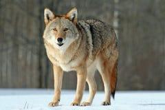 Coyote die zich op een sneeuwgebied bevinden Stock Afbeeldingen