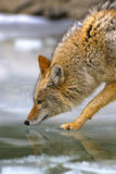 Coyote Drinking. A coyote getting a drink of water off melted ice Stock Photography