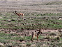 Coyote e dollaro di Pronghorn in Prescott Highlands Immagine Stock