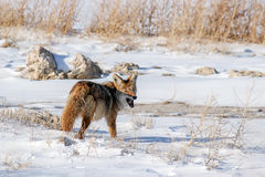 Coyote eating mouse. Coyote eating its prey, a small mouse on the causeway to Antelope Island royalty free stock photos