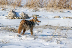 Coyote eating mouse 2. Coyote eating its prey, a small mouse on the causeway to Antelope Island royalty free stock images