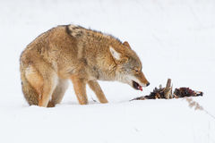 Coyote eating pheasant Royalty Free Stock Images