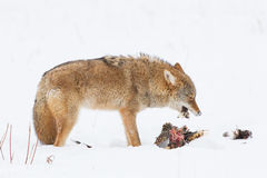 Coyote eating prey Stock Image