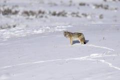 Coyote in een sneeuw Royalty-vrije Stock Afbeelding
