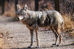 Coyote en el santuario urbano, Calgary, Alberta Fotografía de archivo