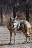 Coyote en el santuario urbano, Calgary, Alberta Imágenes de archivo libres de regalías