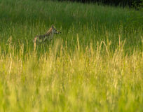 Coyote en grand parc national de montagne fumeuse de champ Photographie stock libre de droits