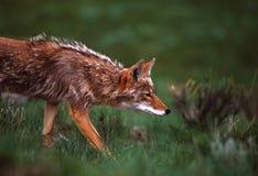 Coyote en la caza Foto de archivo libre de regalías
