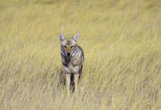 Coyote en la hierba Fotos de archivo libres de regalías