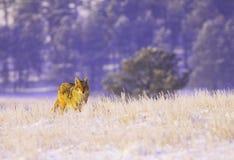 Coyote en la nieve Imágenes de archivo libres de regalías