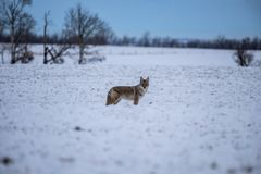 Coyote en los campos de la pradera durante invierno Imágenes de archivo libres de regalías
