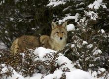 Coyote en nieve Fotografía de archivo libre de regalías