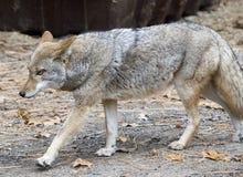 Coyote en paso grande Fotos de archivo libres de regalías