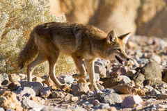 Coyote en stationnement national de Death Valley Images libres de droits