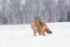 Coyote en una caza foto de archivo libre de regalías
