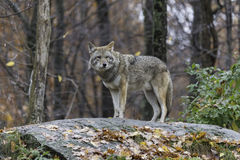 Coyote in fall, forest environment Royalty Free Stock Photo