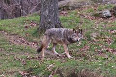 Coyote in fall Royalty Free Stock Photography