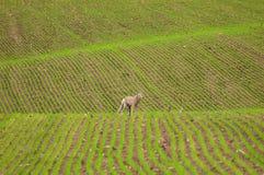 Coyote falso en campo Imagen de archivo libre de regalías