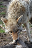 Coyote feeding Stock Images