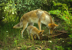 Coyote Female and Pup Royalty Free Stock Photography