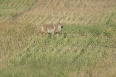 Coyote in a field of cut grass Royalty Free Stock Images
